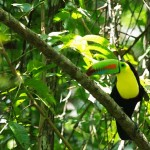 Rainbow-Billed-Toucan