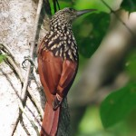 Black Striped Woodcreeper
