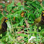 Yellow-faced-Grassquit