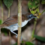 bicoloured-antbird