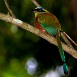 blue-crowned-motmot