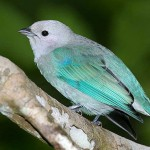 blue-grey-tanager