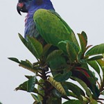 blue-headed-parrot