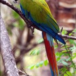 green-macaw