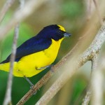 Yellow Crowned Euphonia