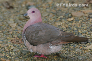grey-chested dove (Leptotila cassinii)