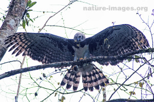 Harpy Eagle with its wings open, image taken along the Pipeline road