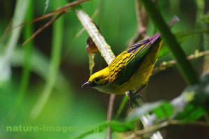Silver throated Tanager