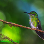 Hummingbird image taken in Panama