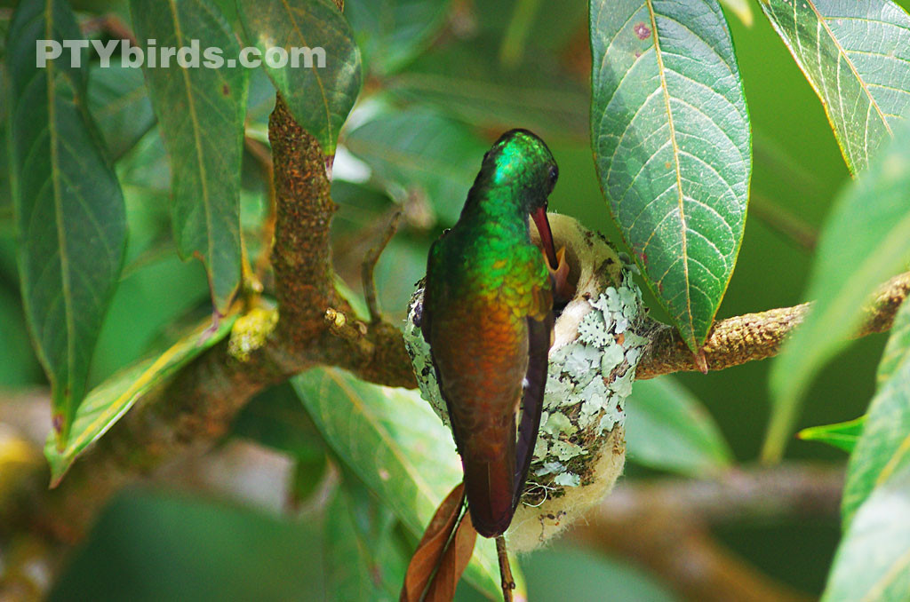 Rufous tailed hummingbird feeding its chicks