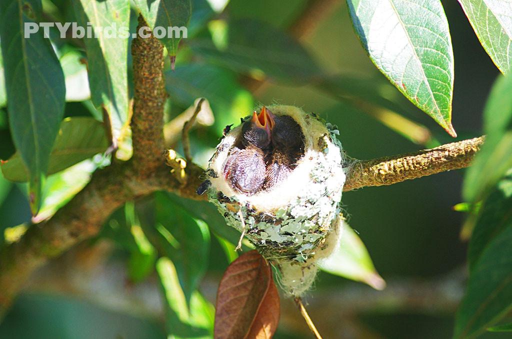 Rufous tailed hummingbirds nest