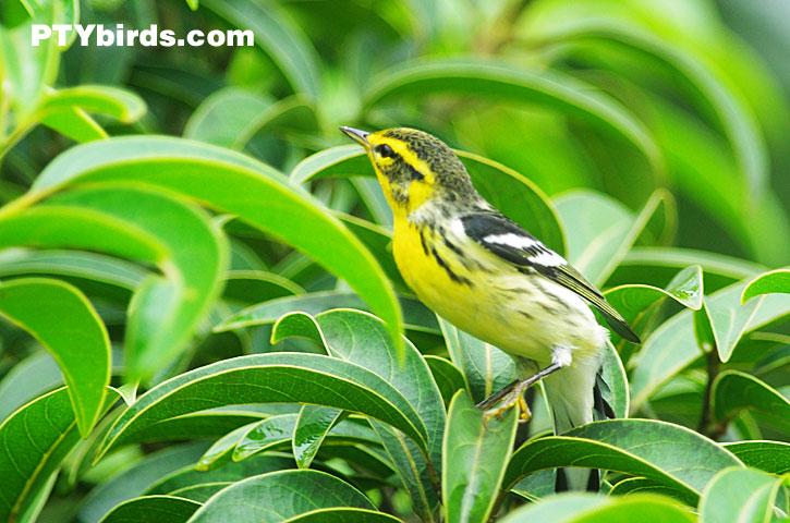 Warblers - Panama