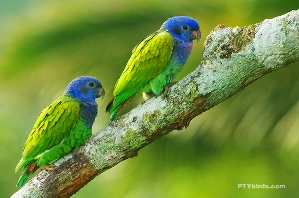 blueheaded-parrot