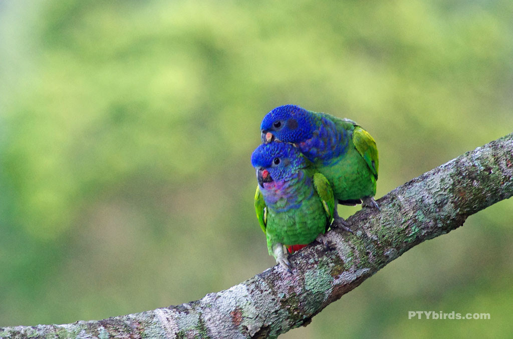 blueheadedparrot-03