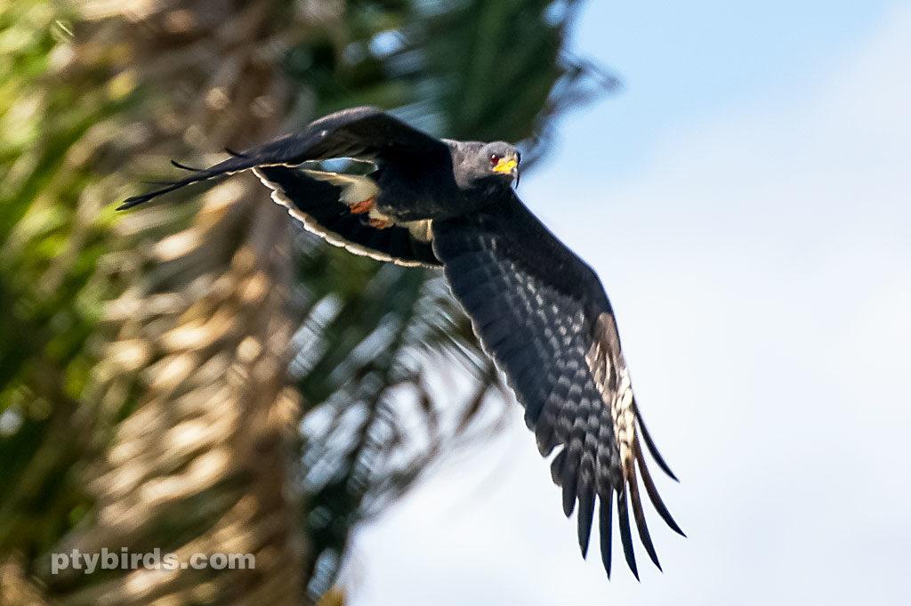Great black hawk BIF