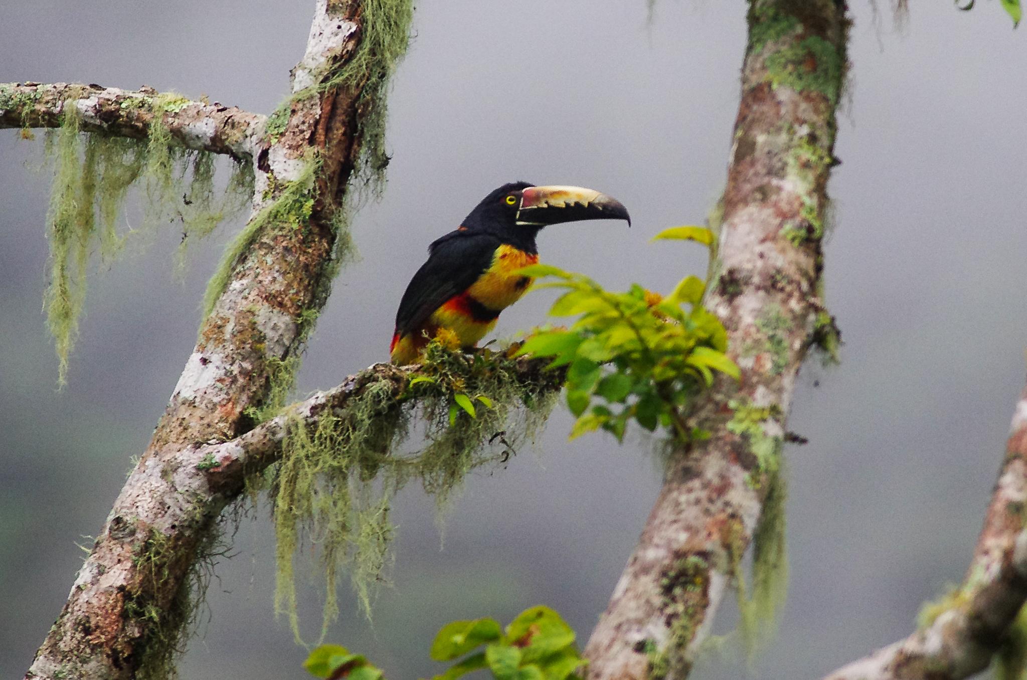 Arasari Acollarado - Collared Aracari