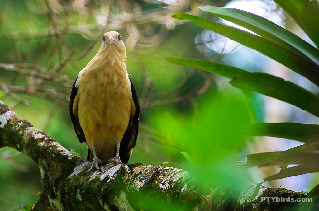 Yellow-headed caracara