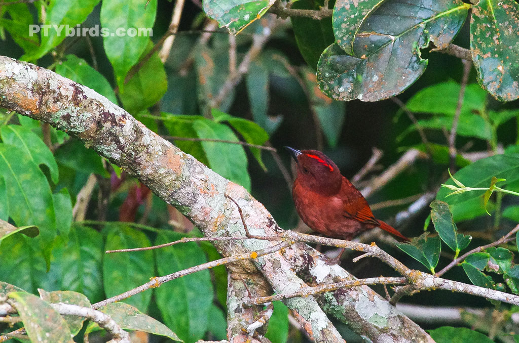 Red-crowned ant tanager