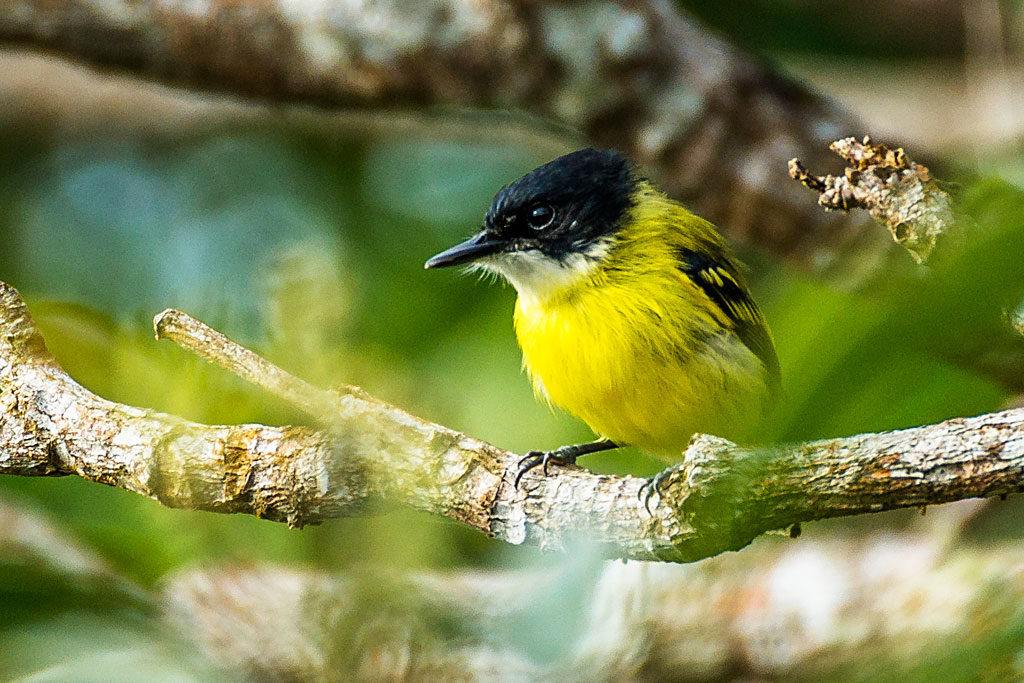 Black headed tody flycatcher
