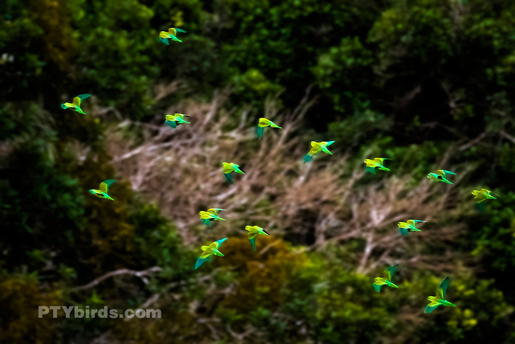 Flock of Orange Chinned Parakeets in Flight