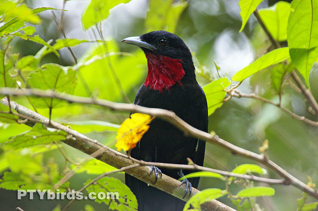 Purple Throated Fruitcrow