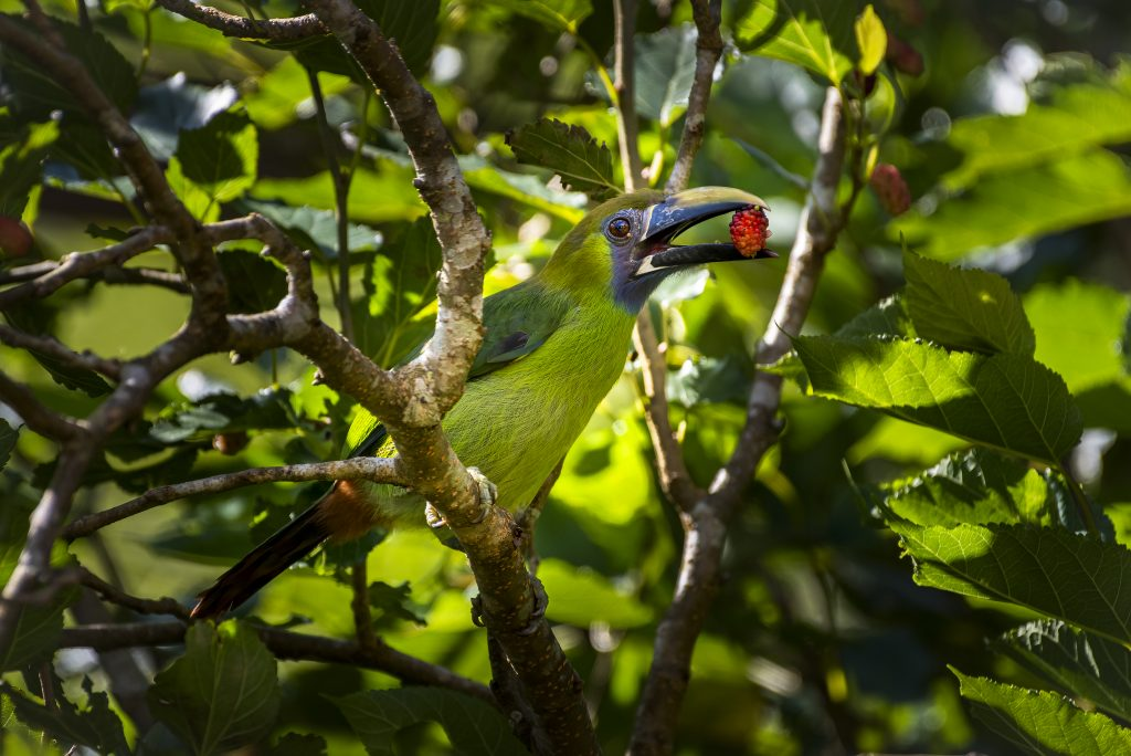 Blue Throated Toucanet