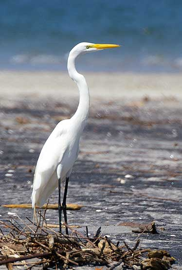 Great White Egret in Punta Chame