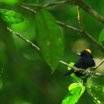 Tawny Crested Tanager